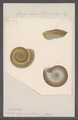 Helix clypeus - - Print - Iconographia Zoologica - Special Collections University of Amsterdam - UBAINV0274 091 04 0006.tif
