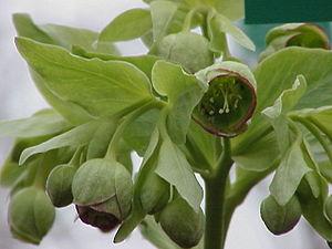Helleborus foetidus - Flowers