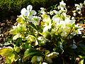 Helleborus niger in Jardin des Plantes 02.JPG