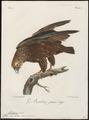 Helotarsus ecaudatus - 1796-1808 - Print - Iconographia Zoologica - Special Collections University of Amsterdam - UBA01 IZ18100345.tif