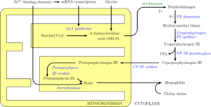Porphobilinogen synthase - Image: Heme synthesis