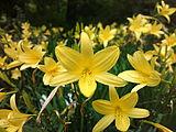 Hemerocallis-esculenta-0a.jpg