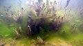 Herbier subaquatique d'eau douce de Ceratophyllum et algues filamenteuses lille aout 2018 a 04.jpg