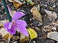 HerbstzeitloseFastVerbluehtH2a.jpg