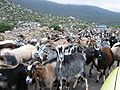 Herd Of Goats.jpg