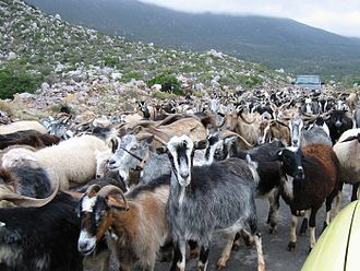Herd - Traditional herding of goats in Greece. Overgrazing by poorly managed traditional herding is one of the primary causes of desertification and maquis degradation.