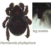 Hermannia phyllophora