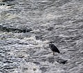 Heron in the weir - geograph.org.uk - 609030.jpg