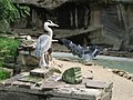 Heron landing while another looks on (540207591).jpg