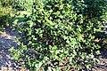 Hibiscus boryanus 2zz.jpg