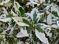Hibiscus hybride de rosa-sinensis 2.JPG