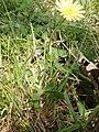 Hieracium pilosella Tutin4.JPG