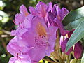 High Rocks on top rhododendron 4118.JPG