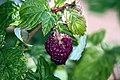 Himbeere (Rubus idaeus) IMG 7756.JPG