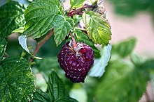 Raspberry Wikipedia