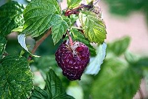 Raspberry - Purple-fruited raspberry hybrids.
