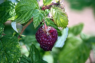 Raspberry - Purple-fruited raspberry hybrids.