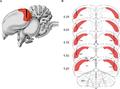 Hippocampus-Bird brain.png