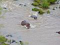 Hippos (Hippopotamus amphibius) (11550328335).jpg