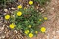 Hirpicium gorterioides subsp. gorterioides-2468 - Flickr - Ragnhild & Neil Crawford.jpg