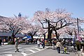 Hitachi Sakura Festival, Ibaraki 07.jpg