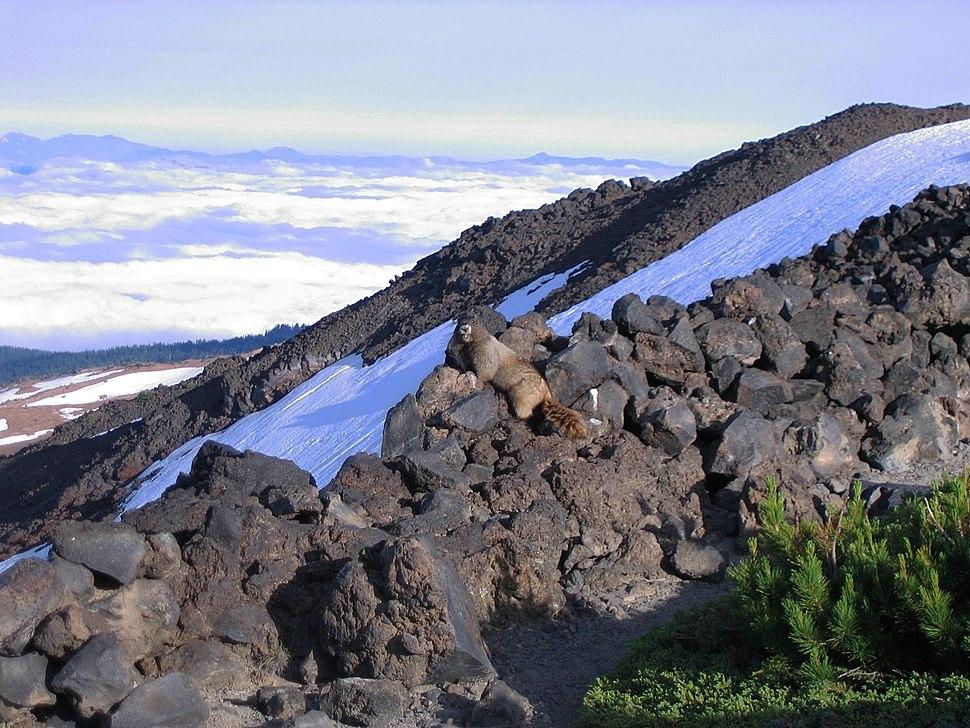 Hoary marmot Mount Adams (Washington)