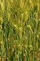 Hordeum vulgare in Lancaster, PA-002.jpg