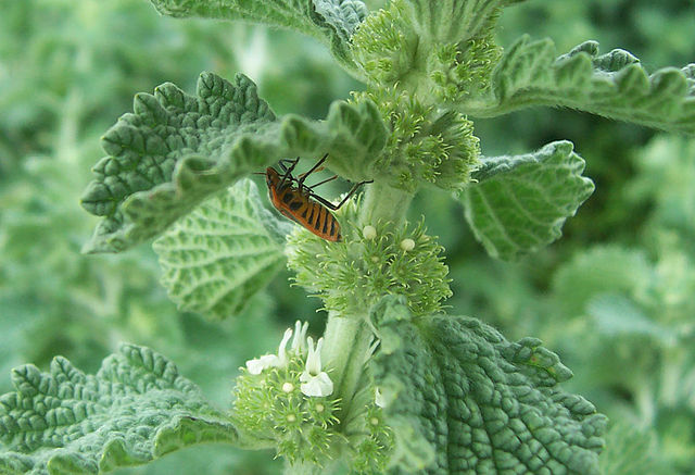Bug on Horehound