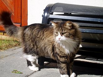 Ship's cat - A cat that is likely to be descendant of Viking cats in Reykjavík