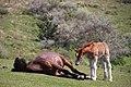 Horses at Kuniga coast, Nishinoshima (1).jpg