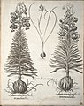 Hortus Eystettensis, 1640 (BHL 45339 208) - Classis Aestiva 56.jpg