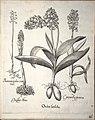 Hortus Eystettensis, 1640 (BHL 45339 213) - Classis Aestiva 61.jpg