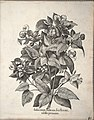 Hortus Eystettensis, 1640 (BHL 45339 357) - Classis Autumnalis 17.jpg