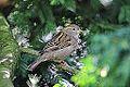 House Sparrow (10529290405).jpg