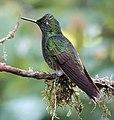 Hummingbird (33951680918).jpg