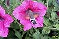 Hummingbird hawkmoth (NH266) (24841558711).jpg