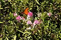 Huntington Gardens 21 - Hebe 'Great Orme' Scrophulariaceae.jpg