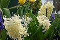 Hyacinthus orientalis 4zz.jpg