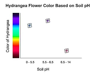 Hydrangea - Hydrangea flower color changes based on the pH in soil. As the graph depicts, soil with a pH of 5.5 or lower will sprout blue hydrangeas, a ph of 6.5 or higher will produce pink hydrangeas, and soil in between 5.5 and 6.5 will have purple hydrangeas. White hydrangeas can not be manipulated by soil pH, they will always be white because they do not contain pigment for color.
