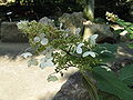 Hydrangea paniculata1.jpg