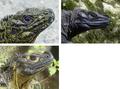 Hydrosaurus heads.png