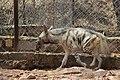 Hyena in Van Vihar national Park Bhopal (1).jpg