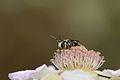 Hylaeus rubicola male 3.jpg