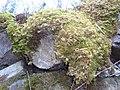 Hylocomium splendens in Dräcke.jpg