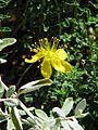 Hypericum balearicum (9494636192).jpg