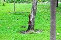 IMG 7854 กระรอกในสวน Photographed by Peak Hora.jpg