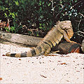 Iguana Florida Keys.jpg