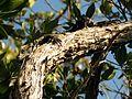 Iguana in a Tree - Flickr - treegrow.jpg