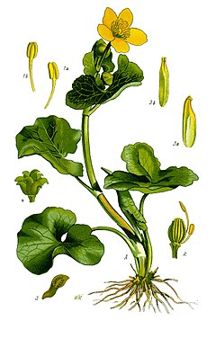 Illustration Caltha palustris1.jpg
