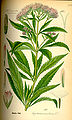 Illustration Eupatorium cannabinum0.jpg